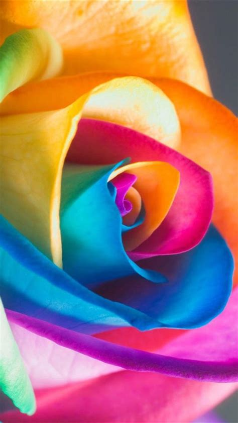 colorful rose wallpaper download colorful rose iphone 5 wallpapers downloads