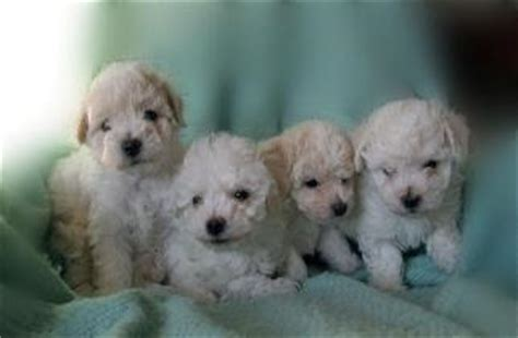 teddy puppies for sale in mn bichon frise puppies in minnesota experienced breeders of bichon frise shihtzu puppies