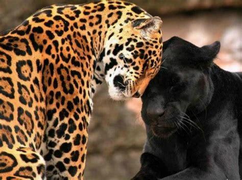 imagenes jaguar you jaguar symbolism meaning spirit totem power animal