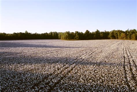 best cotton top cotton fields in 1800s wallpapers