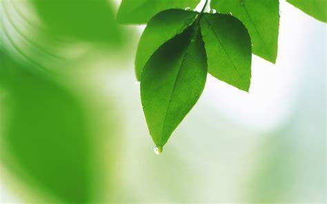 imagenes de hojas verdes frescas hojas de papel tapiz verde 2 19 1680x1050