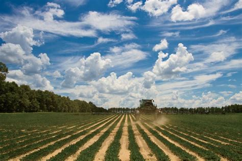 peanuts  root  south carolina farm flavor