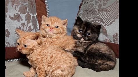 care selkirk cat selkirk rex history personality health care