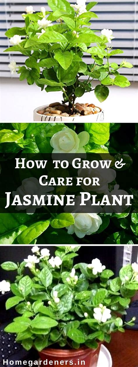 11 best indoor vines and climbers you can grow easily in jasmine plant indoor のおすすめアイデア 25 件以上 pinterest 植物の栽培