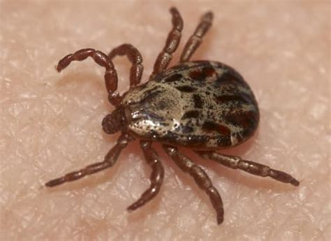ticks in bed biting insects in ny bed bugs mosquitoes fleas ticks