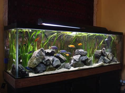 aquascaping african cichlid aquarium 17 best ideas about african cichlids on pinterest cichlids malawi cichlids and
