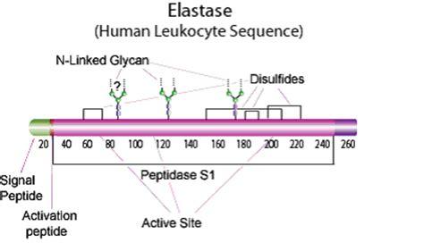 pancreatic elastase