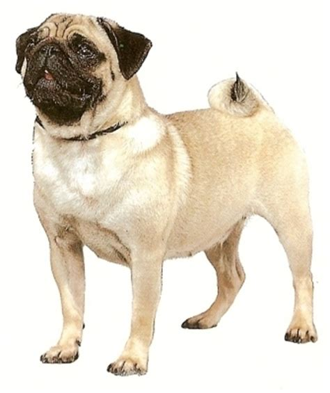 where did pugs originate from pugs images icons wallpapers and photos on fanpop