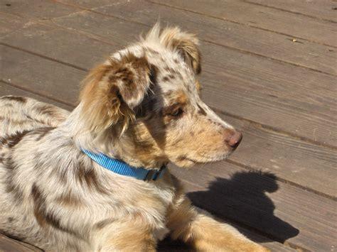 merle australian shepherd puppies plik australian shepherd puppy merle jpg wolna encyklopedia