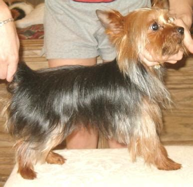 yorkie adults yorkie www pixshark images galleries with a bite