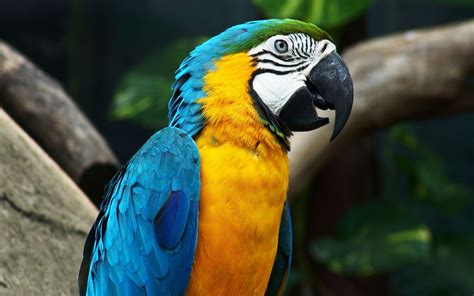 blue and yellow macaw full hd wallpaper and background