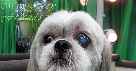 shih tzu and bad groomer pet groomer pet groomers professional pet groomer dogs breeds picture