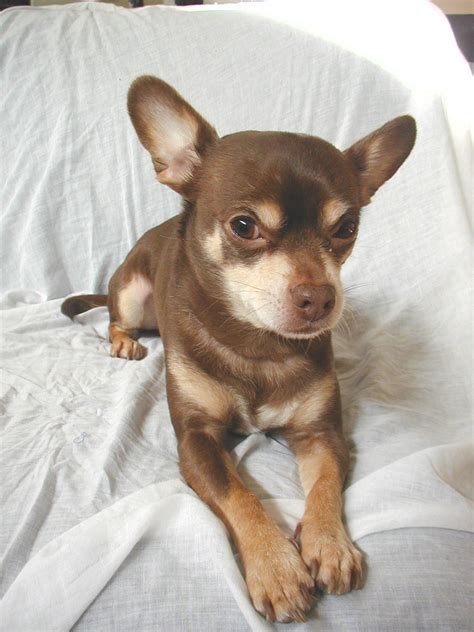 chihuahua breed chihuahua breeds www imgkid the image kid has it