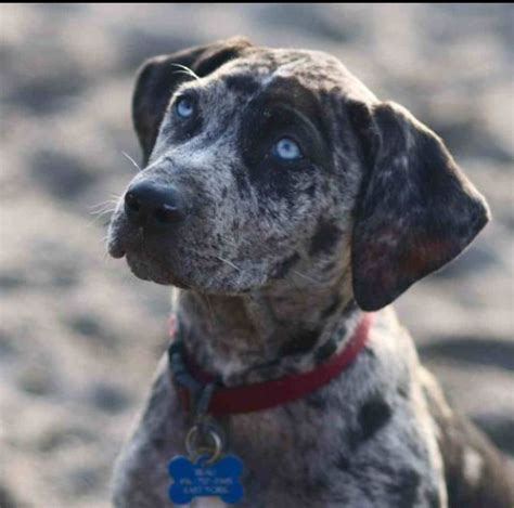 Patchwork Catahoula - 17 best images about catahoula leopard on