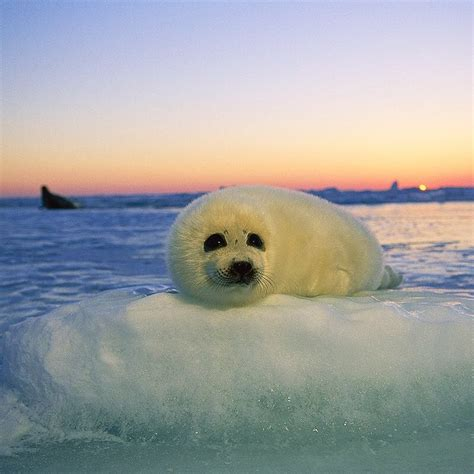 baby seal pup best 25 harp seal pup ideas on baby harp seal