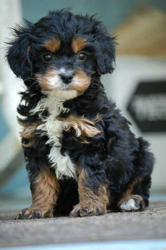 319 best images about king charles spaniel puppy on