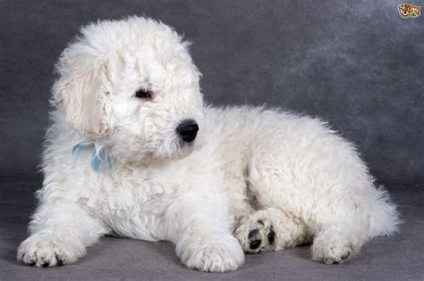 komondor puppy pin komondor puppies on
