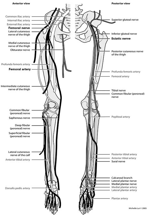 lower extremity diagram peripheral nerves and arteries of the lower extremity