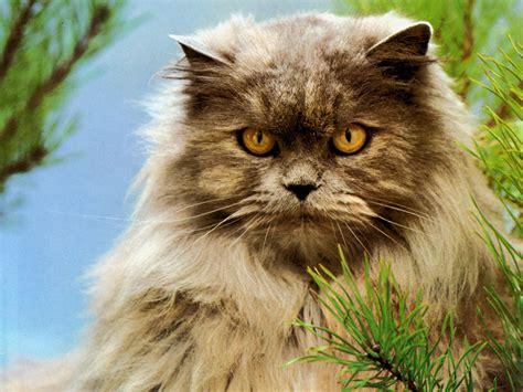 imagenes wallpapers gatos gato persa fondos de pantalla animales fondos animales