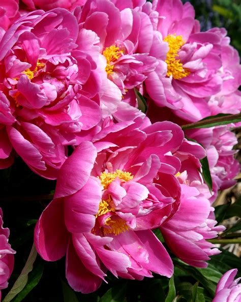 pink peonies www imgkid com the image kid has it pink peonies www imgkid com the image kid has it