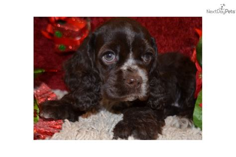 cocker spaniel puppies for sale in ca american cocker spaniel puppies for sale in california