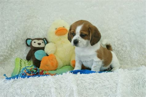 puppy pictures speckles peagle rockin r puppies