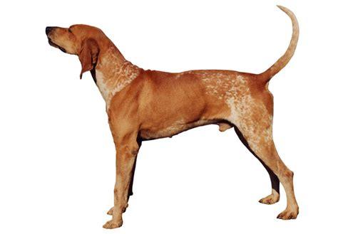 American English Coonhound Puppies For Sale - AKC PuppyFinder