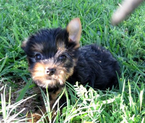 teacup yorkie puppies for sale in el paso yorkie puppy for sale tx breeds picture