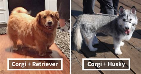 golden retriever cross breeds list 10 times corgis mixed with other breeds and we got the most pawsome results