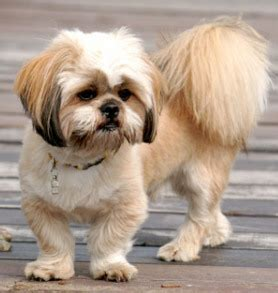 expectancy of a shih tzu lhasa apso shih apso mix of lhasa apso and a shih tzu