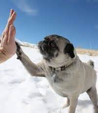 pug adoption denver gimmefive colorado pug rescue