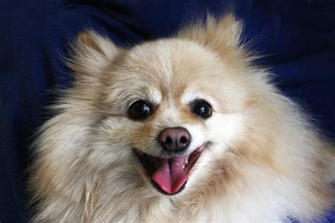 pomeranian and pitbull mix teddy the cairn terrier mix pictures 579088 breeds picture