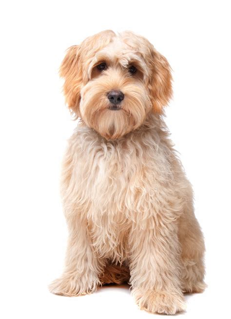 goldendoodle puppies for sale in sc south carolina labradoodle goldendoodle puppy breeders