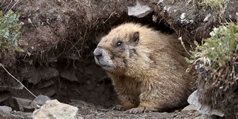 groundhog day groundhog name 8 things you didn t about groundhog day groundhog