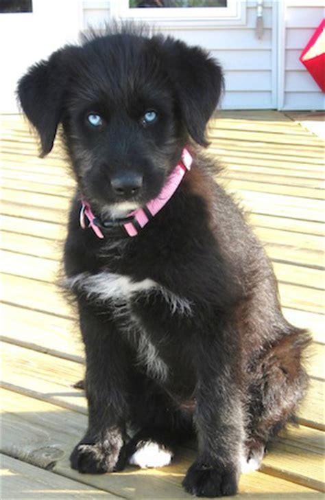 siberpoo puppies siberpoo siberian husky poodle mix info temperament puppies pictures