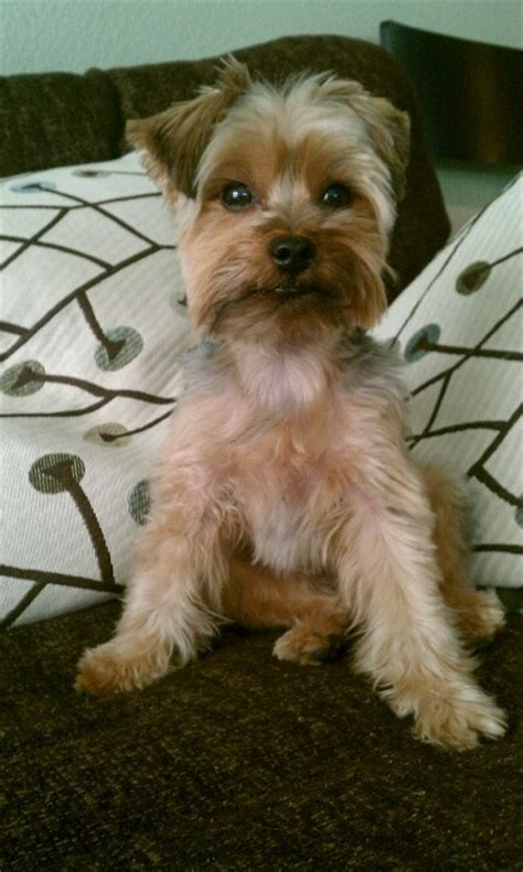 types of yorkie haircuts the 25 best yorkie short haircuts ideas on pinterest