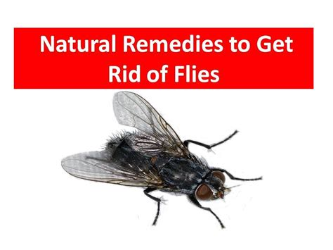 kill house flies easy way how to get rid of a house flies kill house