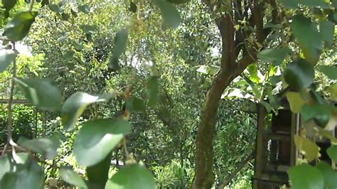 Teh Bidara Arab pokok bidara bidara tree bukit serdang