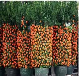 2014 real new outdoor plants winter sementes de flores 60 pcs potted