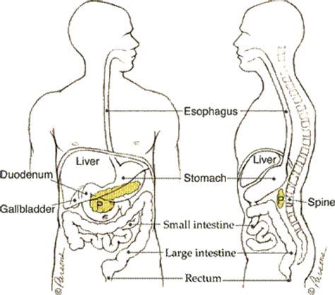 where is your pancreas located diagram what is the pancreas