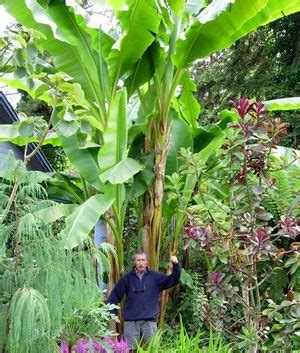 Cold Hardy Tropical Plants - exotic banana plants survive winter if they get shelter from the elements the seattle times