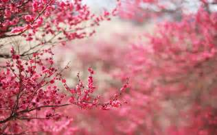 cherry blossom image cherry blossoms sakura hd wallpapers hd wallpapers backgrounds photos pictures image pc