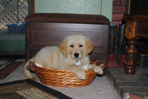 northern california golden retriever california golden retriever puppies