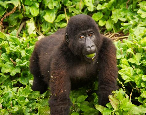 ranger rick i wish i was a gorilla i can read level 1 books 9 rescue tales africa geographic magazine