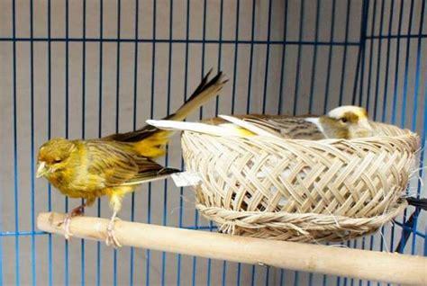 Sarang Burung Finch Kenari Dan Sejenisnya cara praktis ternak burung kenari dengan kandang minimalis burung master