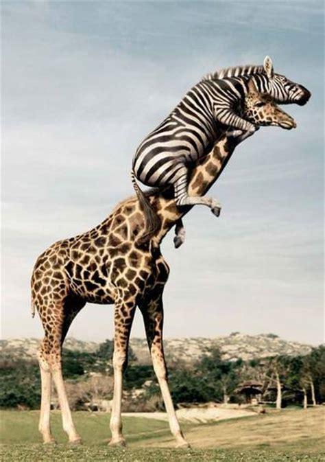 Funny Zebra Pictures 2011   Funny Animals
