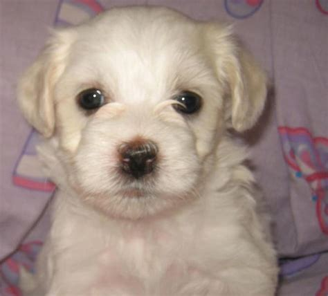 havanese puppy cost white havanese puppy images jpg hi res 720p hd