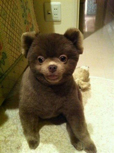 can i shave my pomeranian teddy pomeranian we and teddy bears on
