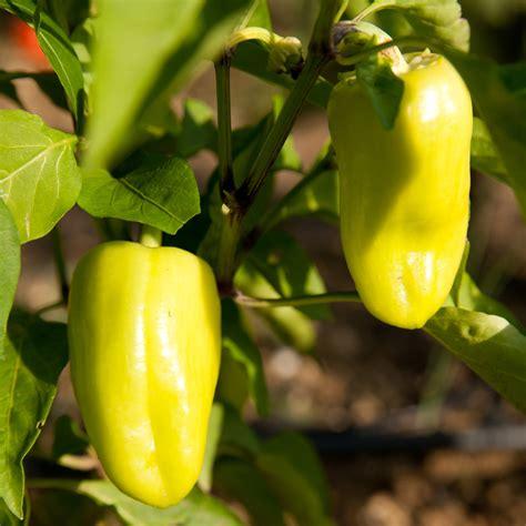 Paprika Im Garten Anbauen 187 So Erzielen Sie Eine