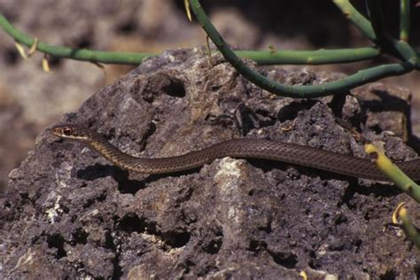 Garden Snake Florida by Herps American Racer Coluber Constrictor